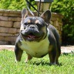 French Bulldog Running Outside