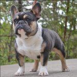 Picture of a Tri-Colored French Bulldog